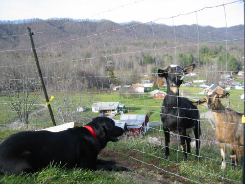 Blackie and the Goats